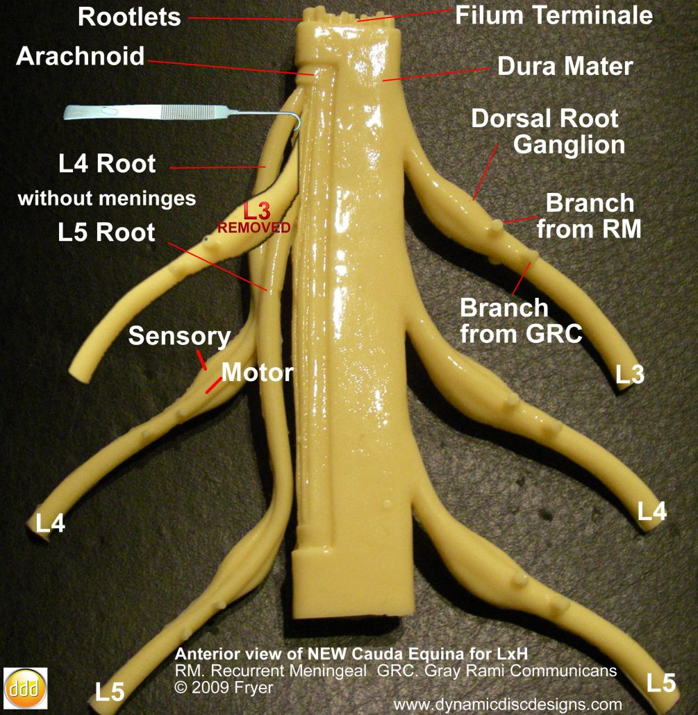 spinal cord anatomical model
